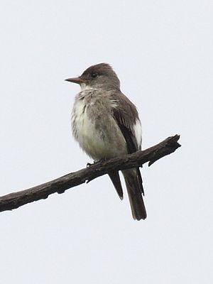 Olive-sided flycatcher - Image: Olive sided Flycatcher