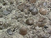Brachiopod fossils are often found in dense assemblages, such as these specimens of the Ordovician species Onniella meeki.