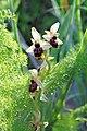 Ophrys exaltata zingaro 110.jpg