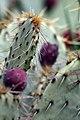 Opuntia engelmannii flavispina 2zz.jpg