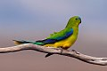 Orange-bellied Parrot (Neophema chrysogaster) (8079613109).jpg