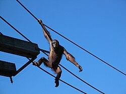 Orangutan Ouwehands.jpg