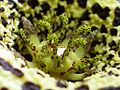 Orbea variegata (L.) Haw. 03.jpg