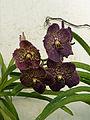 Orchidées-Jardin botanique de Peradeniya-Sri Lanka (17).jpg