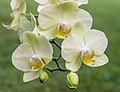 Orchidee (phalaenopsis) (actm) 04.jpg