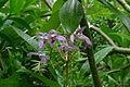 Orchidee in Bali.jpg