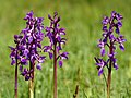 Orchis mascula (five plants).jpg