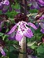 Orchis purpurea sl24.jpg