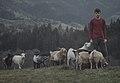 Oregon goat herder.jpg