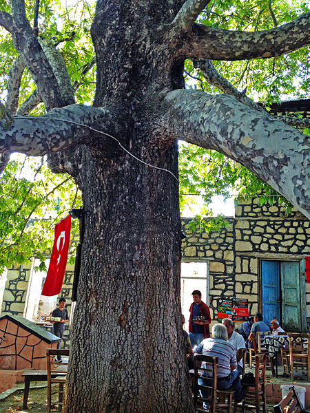 File:Oriental Plane tree - Platanus orientalis - Doğu Çınarı, Arslanköy 02.JPG