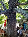 Oriental Plane tree - Platanus orientalis - Doğu Çınarı, Arslanköy 02.JPG