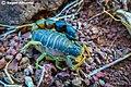 Orthochirus scorpion.jpg