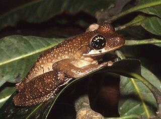 Henles slender-legged tree frog species of amphibian