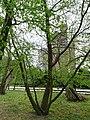 Ostrya carpinifolia, chmielograb europejski, Kornik.jpg