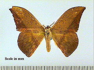 <i>Oxytenis</i> genus of insects