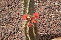 Pájara La Lajita - Oasis Park - Euphorbia viguieri var viguieri 02 ies.jpg