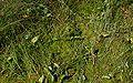 PNBT Kacze oko zbirorowisko z żurawiną i czermienią błotną 03.07.10 p.jpg