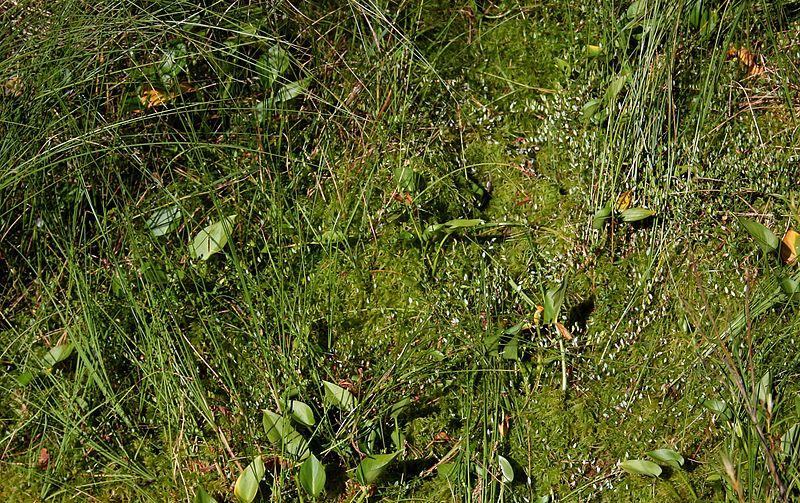 File:PNBT Kacze oko zbirorowisko z żurawiną i czermienią błotną 03.07.10 p.jpg