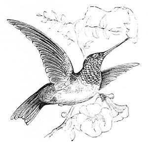 PSM V05 D292 Ruby throated hummingbird.jpg
