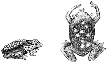 PSM V59 D085 Brazilian and surinam frogs carry eggs on their backs.png
