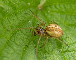 <i>Pachygnatha</i> Genus of spiders