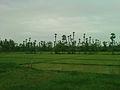 Paddy Fields near Dwarapudi 3.jpg