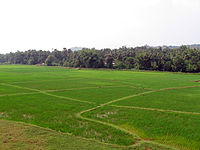 Paddy fields in Kerala, India