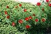 Paeonia tenuifolia prg2.jpg