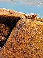 Paguro su residui minerari, spiaggia di Galenzana, Marina di campo, Elba.jpg