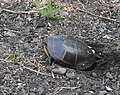 Painted turtle f7.jpg