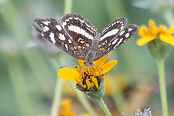 Pale-banded crescent (Phyciodes tulcis).jpg