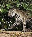 Pantanal jaguar JF6.jpg