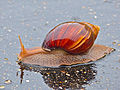 Panther Agate Snail (Achatina immaculata) (12054577296).jpg