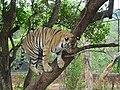 Panthera tigris in Nandankanan Zoo 01.jpg