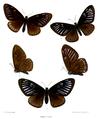 Papilio slateri 513.png