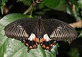 Papilionidae sp.jpg