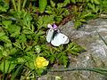 Papillon dans le jardin Albert Kahn.JPG