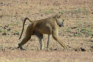 Yellow baboon - P. cynocephalus in South Luangwa National Park, Zambia