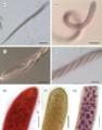 Parasite160090-fig1 Cepedea longa (Opalinidae).png