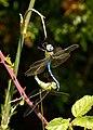 Pareja de Anax imperator copulando - Dragonflies - Libélulas - Libèl·lules (5163128059).jpg