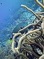 Parrotfish Stoplight Parrotfish in Soft Coral (7342771598).jpg