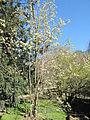 Parrotiopsis jacquemontiana (Jardin des Plantes de Paris).jpg