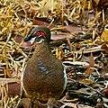 Partridge pigeon.jpg