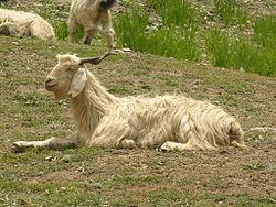 Pashmina Goat.jpg