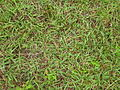 Paspalum dilatatum plant6 (7185808071).jpg