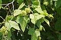Passiflora foetida W IMG 6697.jpg