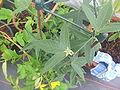 Passiflora suberosa20.jpg