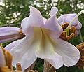Paulownia tomentosa - paulownia tree - desc-view into flower.jpg