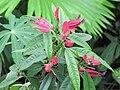 Pavonia × gledhillii 3.jpg