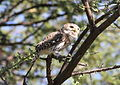 Pearl-spotted Owlet, Glaucidium perlatum, at Mapungubwe National Park, Limpopo, South Africa (17844927098).jpg